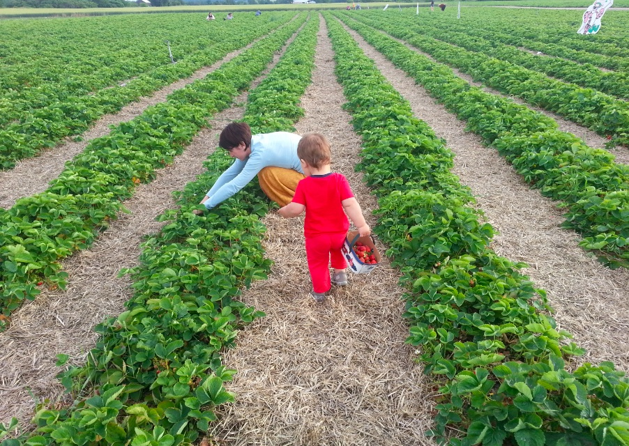 Strawberries farm