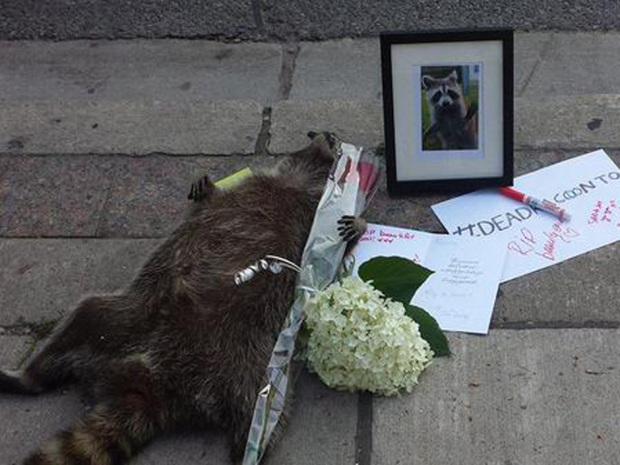 dead-raccoon-2