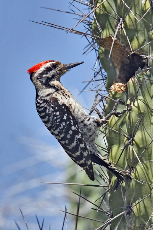 Ladder-Backed Woodpecker (Male), Desert Botanical Gardens, Phoenix, Arizona